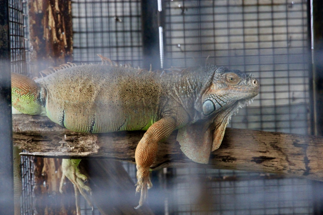 Iguana, Malesia