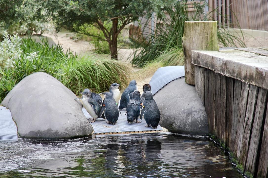 Pinguini, Australia
