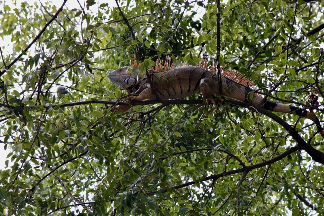 Iguana a Key West