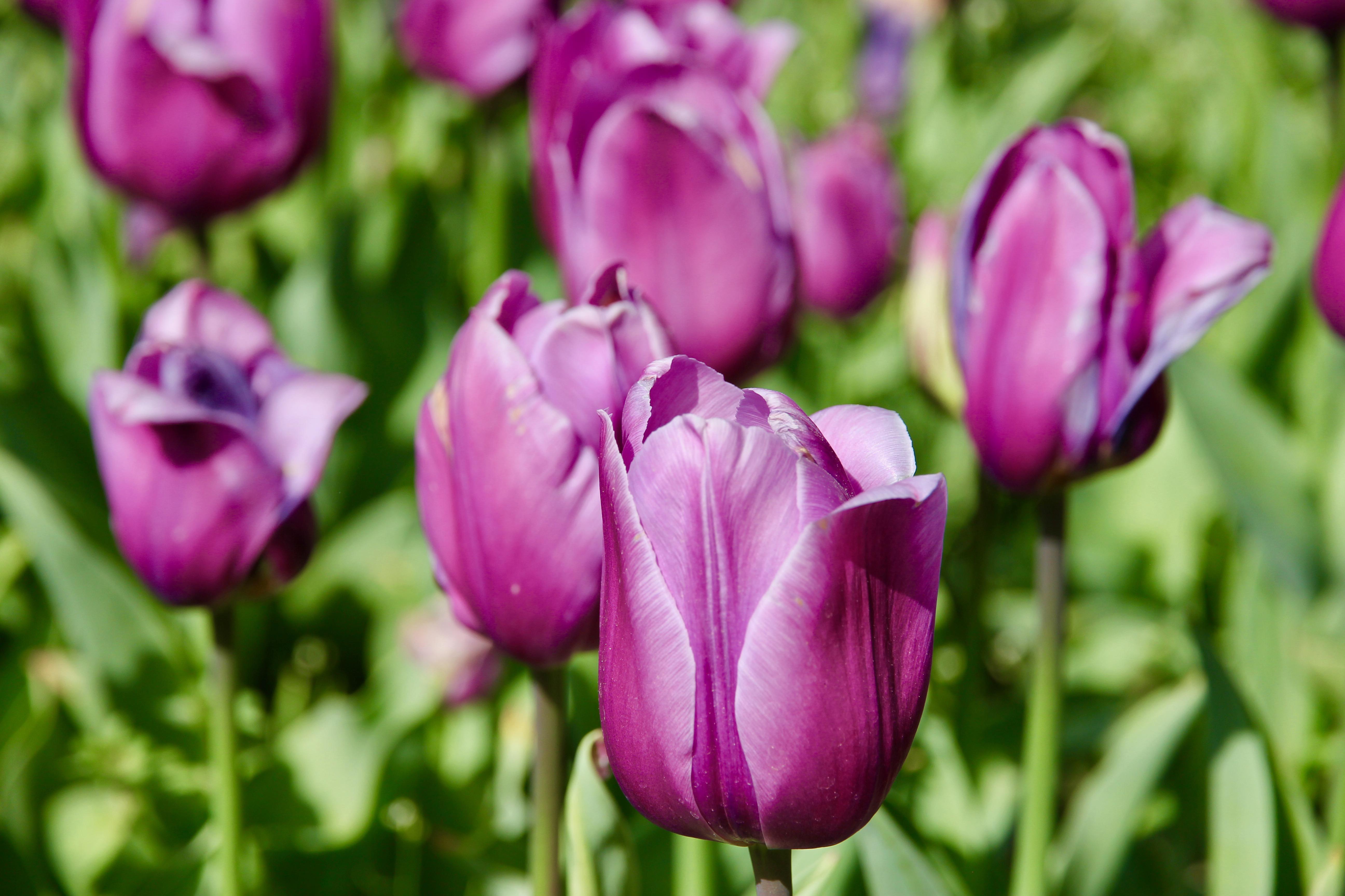 Madrid - tulipani