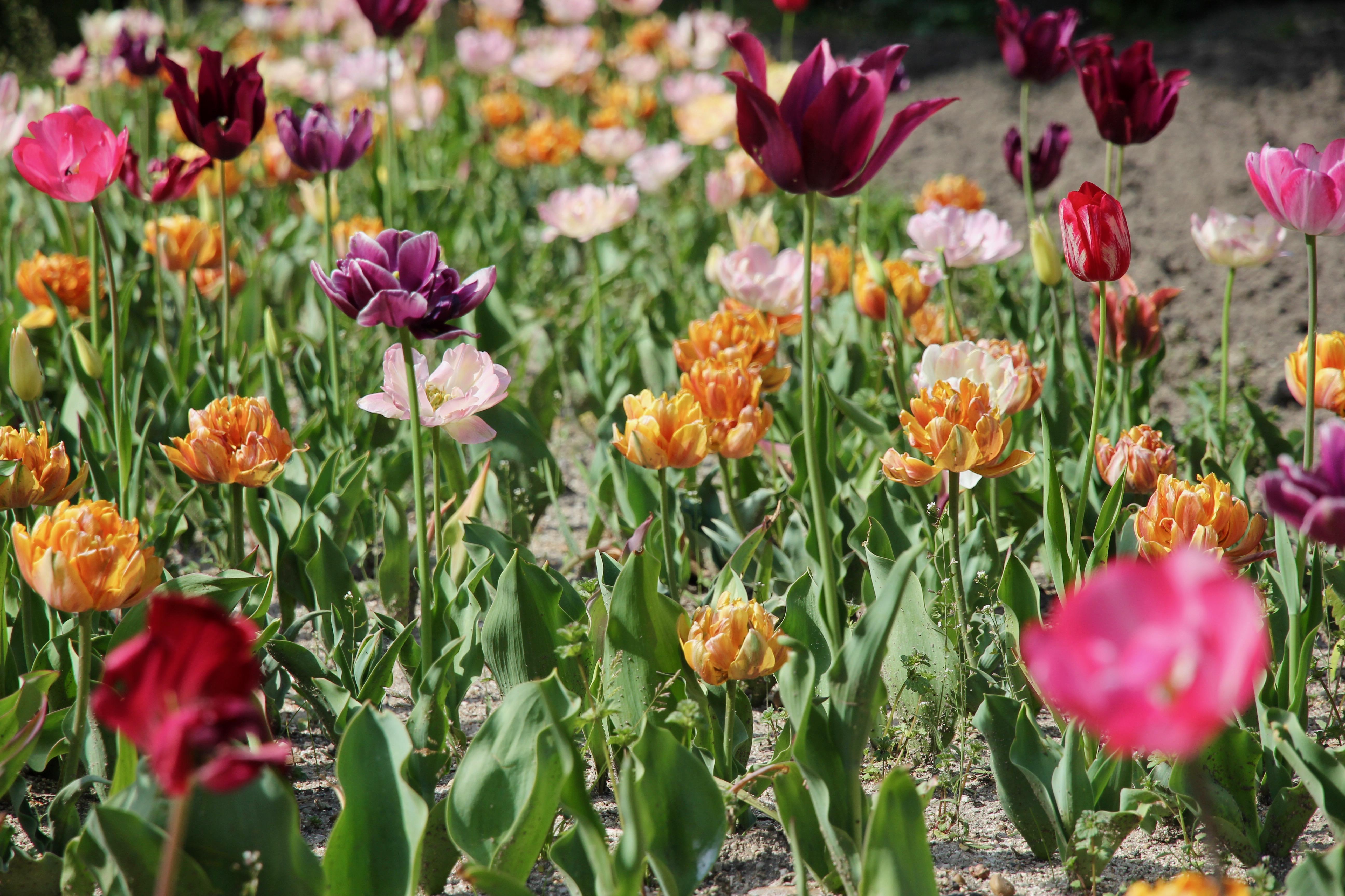 Madrid: tulipani